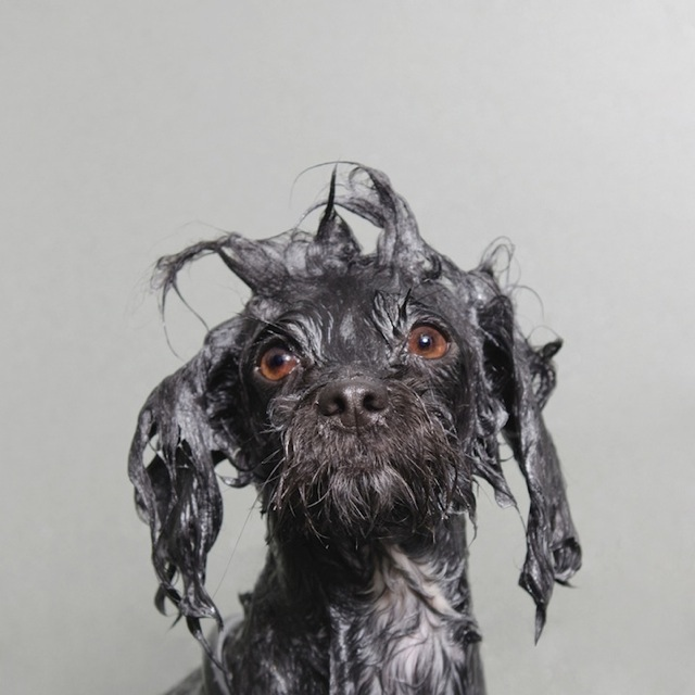 bathing-dogs-portraits-12