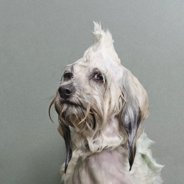 bathing-dogs-portraits-2
