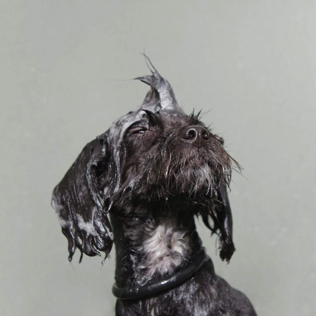 bathing-dogs-portraits-5