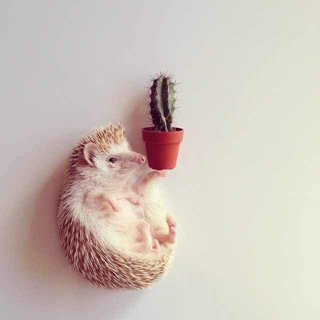 cutest-hedgehog-ever-1