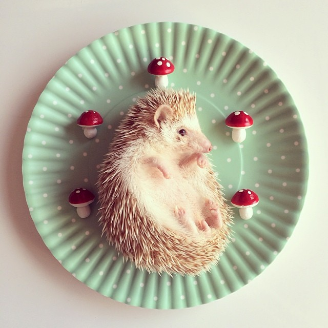 cutest-hedgehog-ever-13