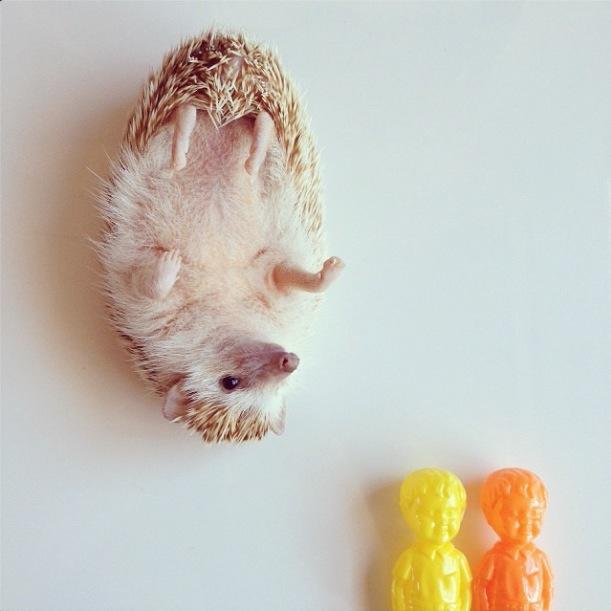 cutest-hedgehog-ever-14