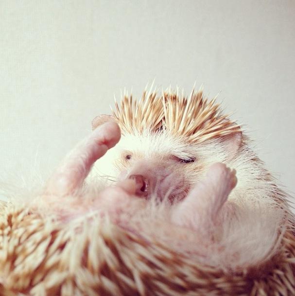 cutest-hedgehog-ever-15