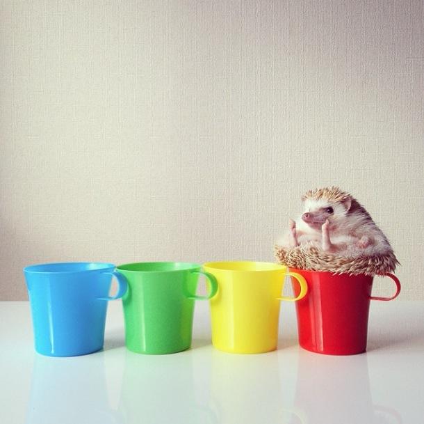 cutest-hedgehog-ever-16