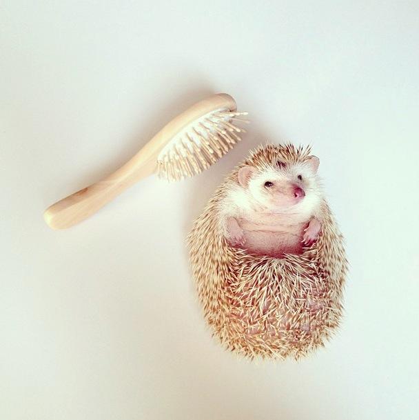 cutest-hedgehog-ever-17