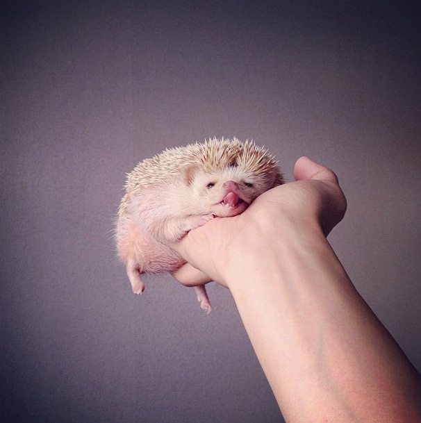 cutest-hedgehog-ever-18