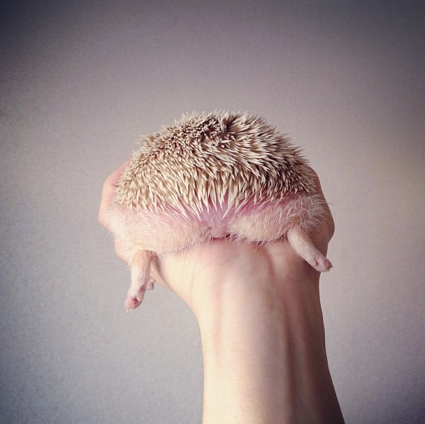 cutest-hedgehog-ever-19