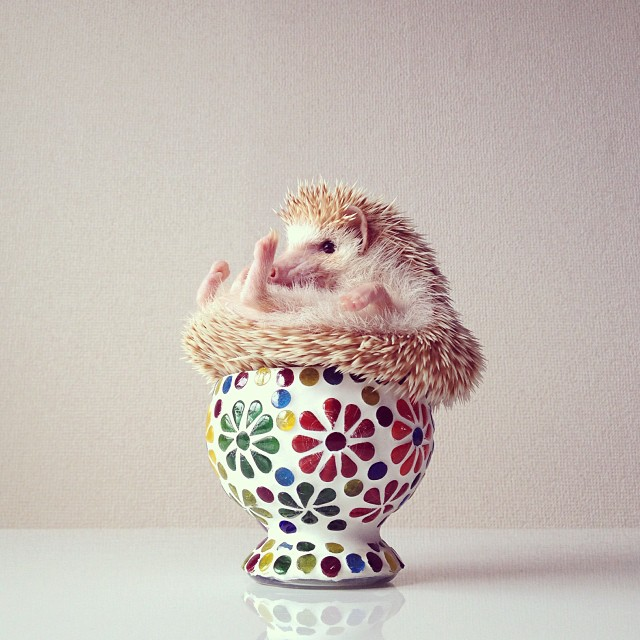 cutest-hedgehog-ever-5