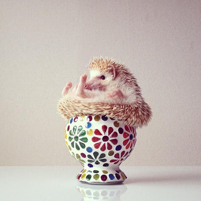 cutest-hedgehog-ever-5