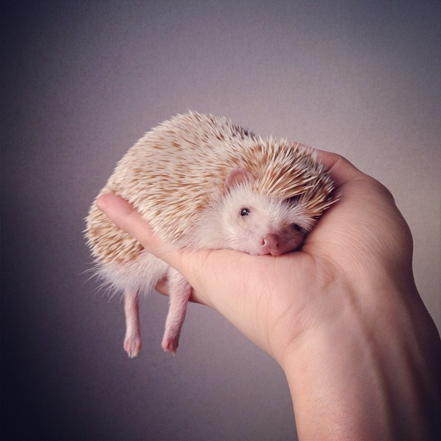 cutest-hedgehog-ever-6