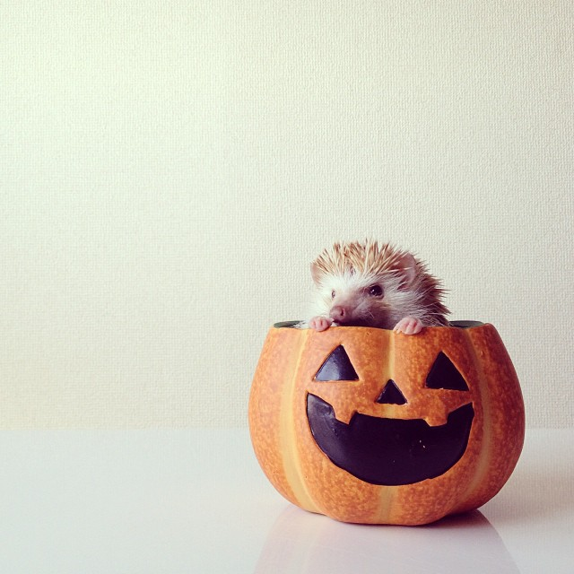 cutest-hedgehog-ever-7