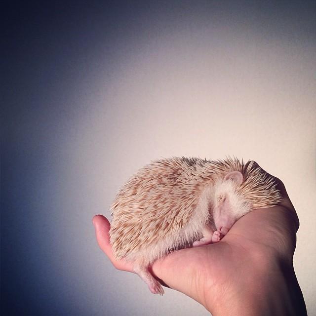 cutest-hedgehog-ever-9