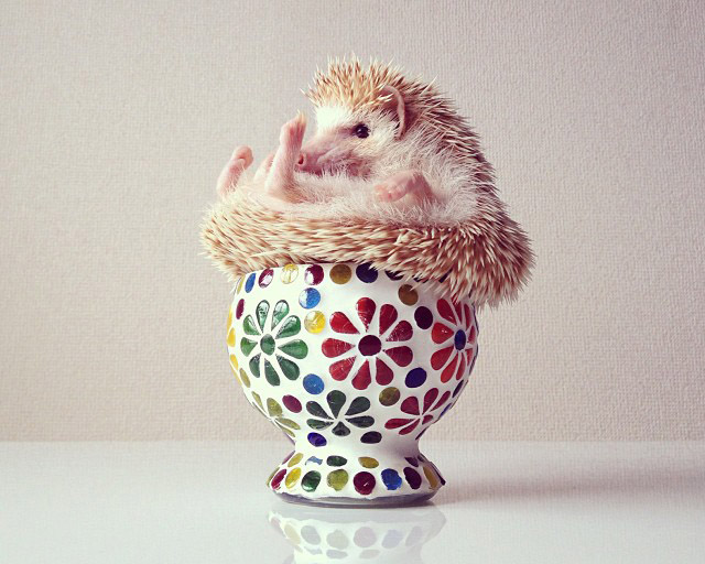 These Photos Are The Reason Why Instagram Is Falling In Love With - Darcy cutest hedgehog ever