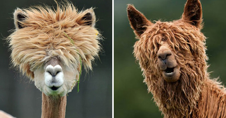 The 22 Most Hilarious Alpaca Hairstyles Ever They
