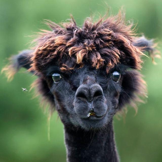 hilarious-alpaca-hairstyles-1