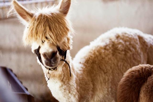hilarious-alpaca-hairstyles-11