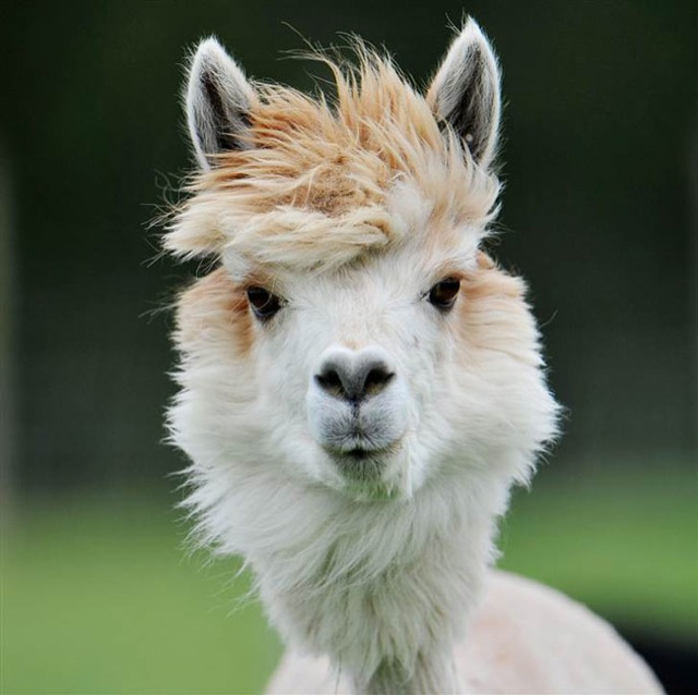 The 22 most hilarious alpaca hairstyles ever. They ...