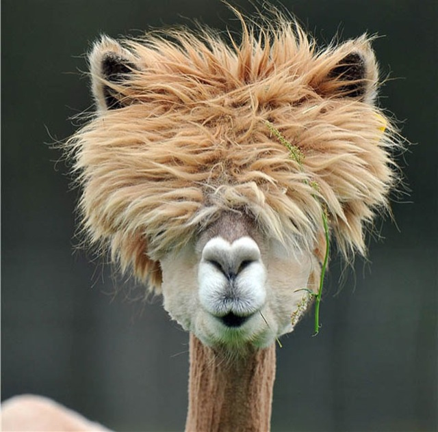 Llamas Making Funny Faces The 22 most hilarious ...