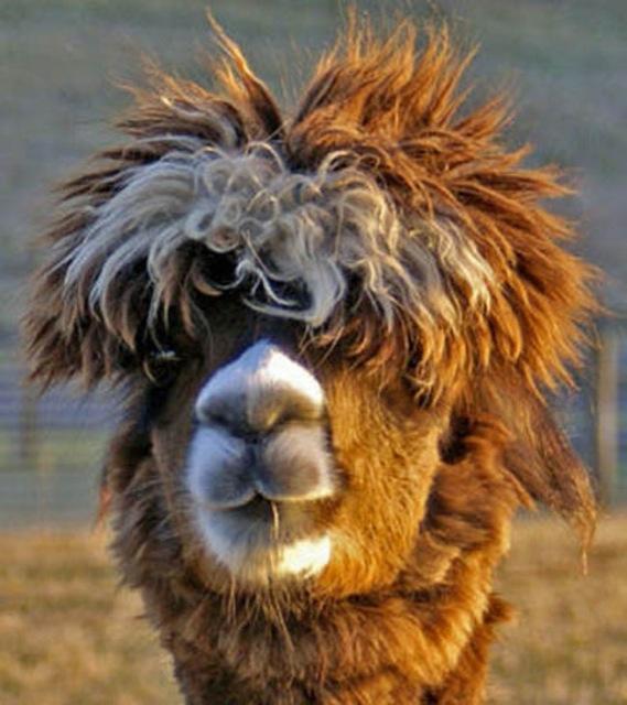 hilarious-alpaca-hairstyles-16