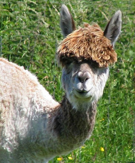 The 22 Most Hilarious Alpaca Hairstyles Ever. They