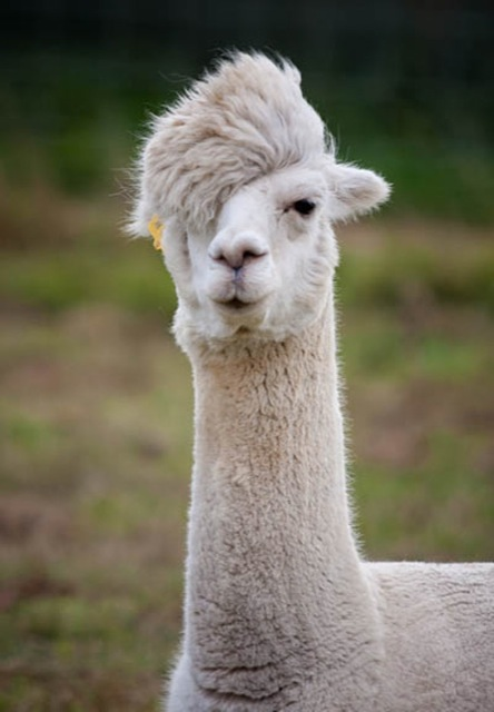 The Most Hilarious Alpaca Hairstyles Ever They Probably Are - 22 hilarious alpaca hairstyles