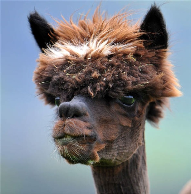 Llamas With Afros The 22 most hil...
