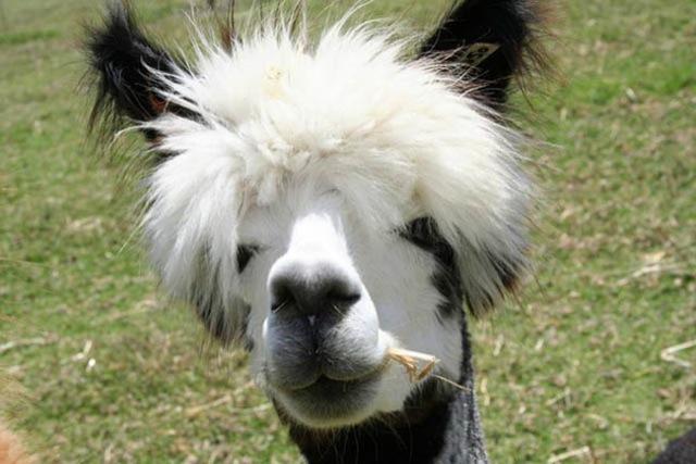 hilarious-alpaca-hairstyles-4