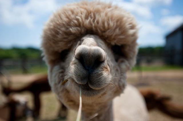 hilarious-alpaca-hairstyles-7