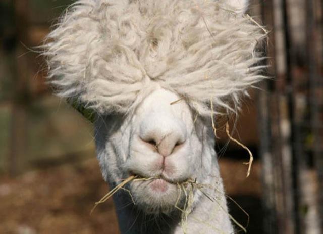 hilarious-alpaca-hairstyles-8