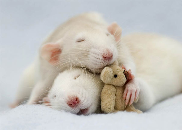 rats-with-teddy-bears-10