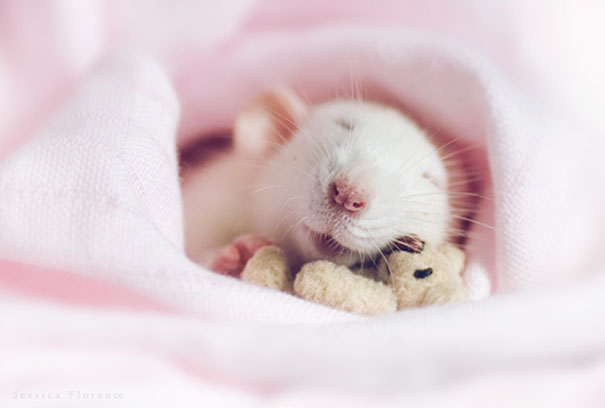 rats-with-teddy-bears-11