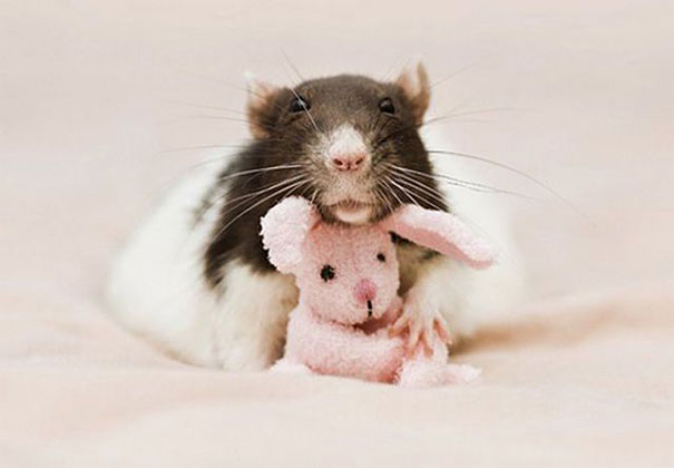rats-with-teddy-bears-6