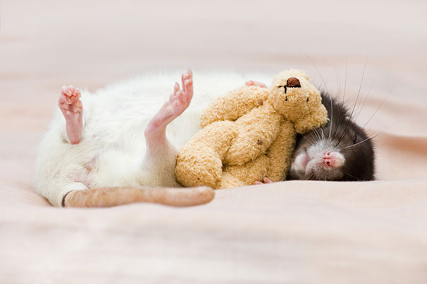 rats-with-teddy-bears-7