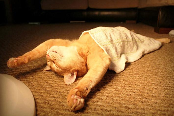 exotic shorthair kittens for sale