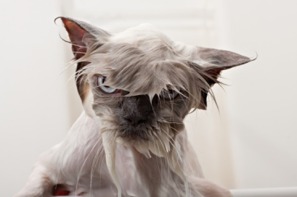 The Funniest Wet Cats Pictures Of All Time Page Of - 26 funniest wet cats pictures