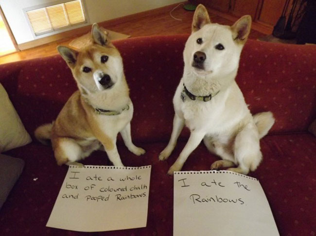 naughty-dogs-cats-confessing-crimes-10