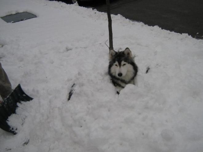 husky-cat-1