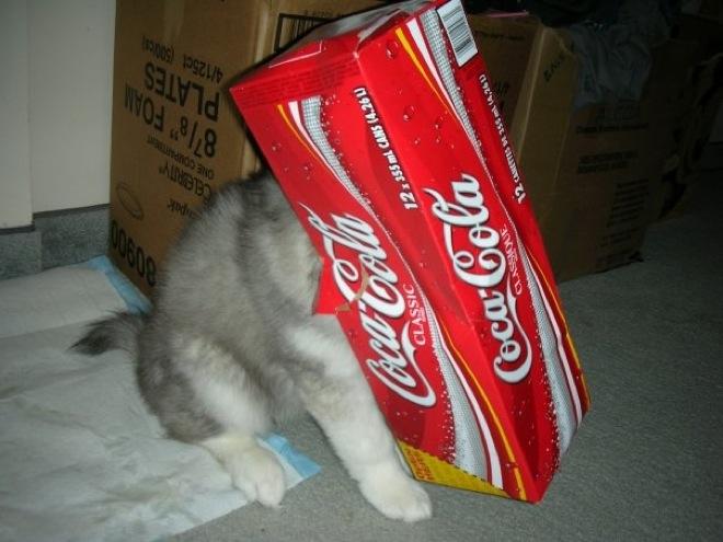husky-cat-11