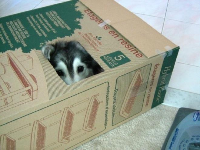 husky-cat-16