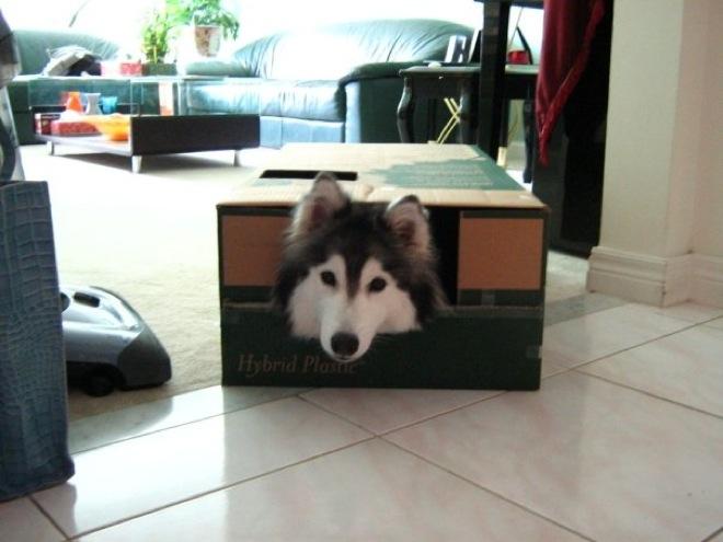 husky-cat-24