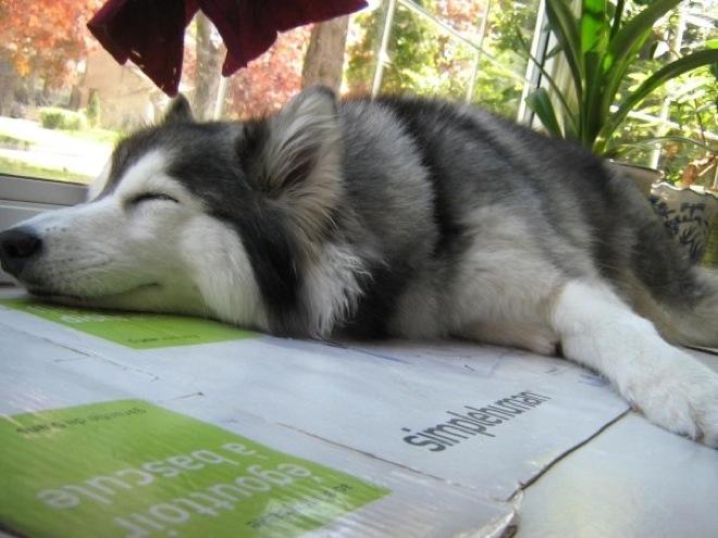 husky-cat-7