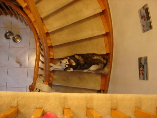 husky-cat-9
