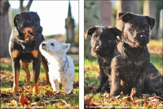 terrier-and-rottweiler-4