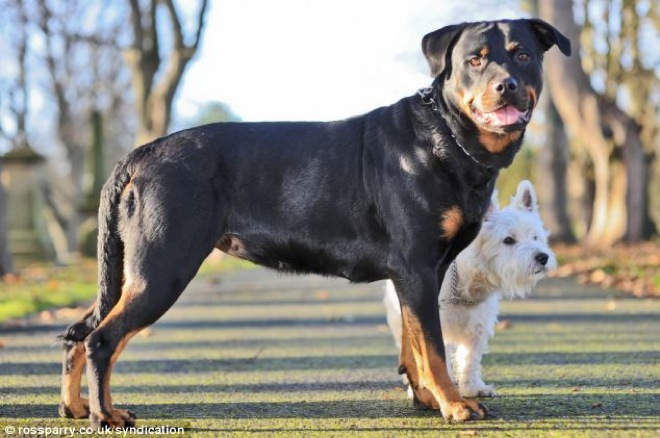 This Little Terrier Got A Rottweiler Pregnant And You Really Have - Terrier and rottweiler