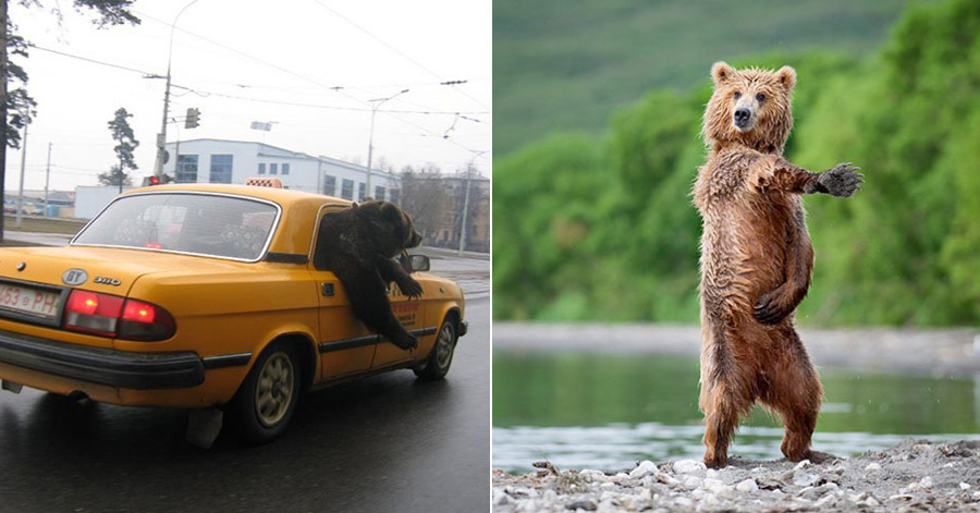 bears-acting-like-humans