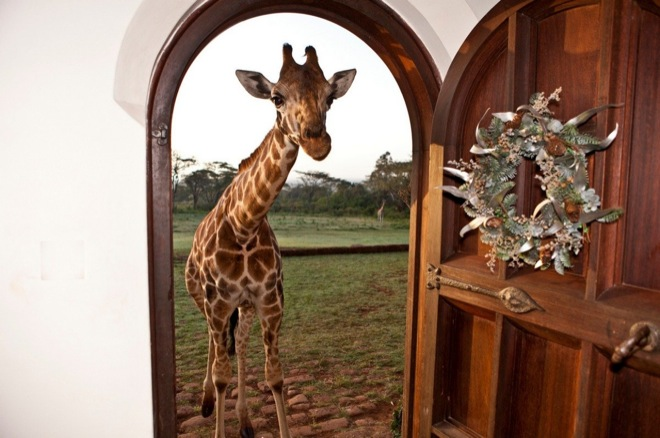 via: Giraffe Manor
