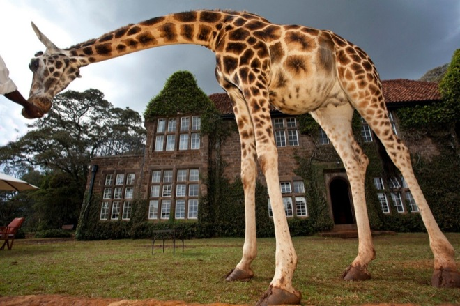 via: Giraffe Manor