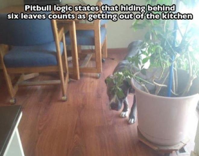 pitbull-photos-1