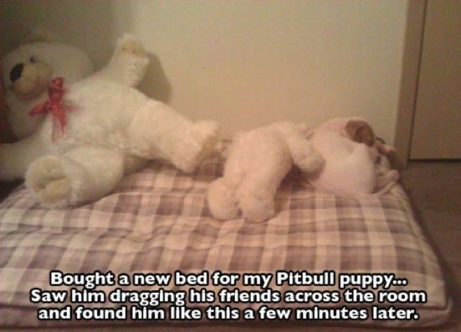 pitbull-photos-19