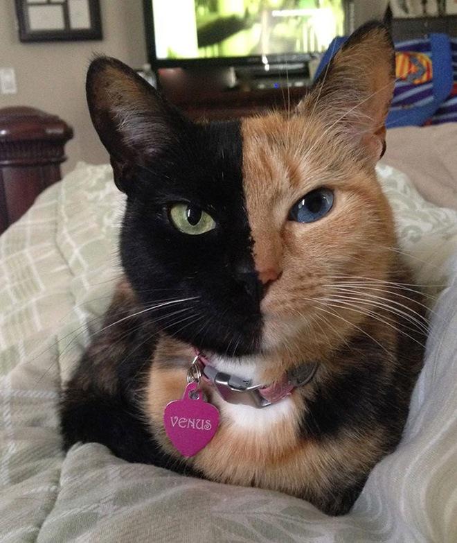 Venus  Faced Cat